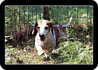 Dachshund Dog for adoption in Comanche, Texas - Tony