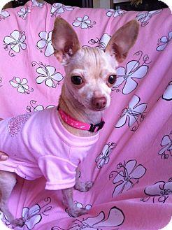Chihuahua Dog for adoption in El Cajon, California - NALA, Tiny little Deer