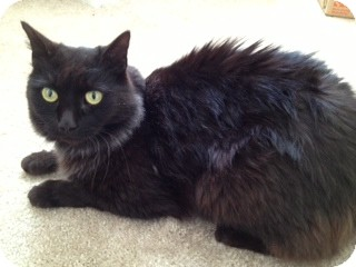 Domestic Longhair Cat for adoption in Richmond, Virginia - Quincy