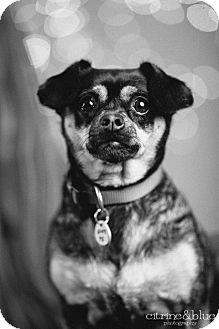 Pug/Dachshund Mix Dog for adoption in Portland, Oregon - Chloe
