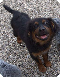 Labrador Retriever/Shepherd (Unknown Type) Mix Puppy for adoption in Kalamazoo, Michigan - Johnny - Jen