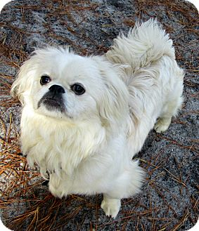 Pekingese Dog for adoption in Forked River, New Jersey - Angel