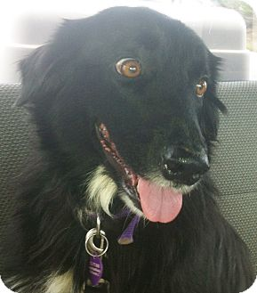Border Collie Dog for adoption in Austin, Texas - Carly