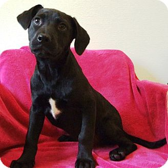 Labrador Retriever/Hound (Unknown Type) Mix Puppy for adoption in Kalamazoo, Michigan - Lilac
