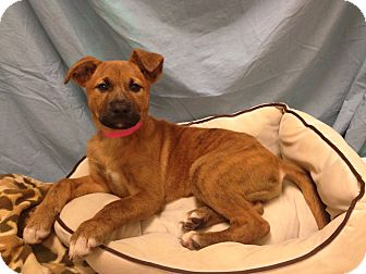 Labrador Retriever/Shepherd (Unknown Type) Mix Puppy for adoption in Waldorf, Maryland - Pooh