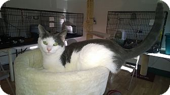 Domestic Shorthair Kitten for adoption in Speonk, New York - Cammy