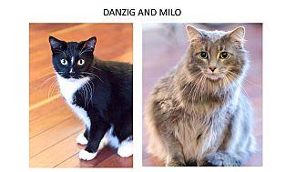 Domestic Longhair Cat for adoption in Chicago, Illinois - Danzig & Milo
