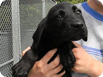 Labrador Retriever Mix Puppy for adoption in Tyner, North Carolina - Milly