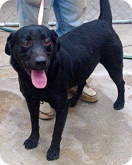 Labrador Retriever Mix Dog for adoption in Phoenix, Arizona - Harper