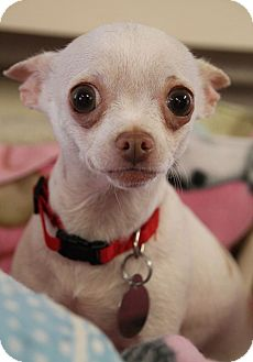 Chihuahua Mix Dog for adoption in Chattanooga, Tennessee - Cookie