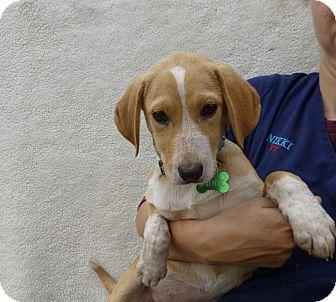 Golden Retriever/Labrador Retriever Mix Puppy for adoption in Oviedo, Florida - Annie