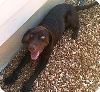 Labrador Retriever/Weimaraner Mix Dog for adoption in Dover, Tennessee - Humphrey