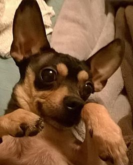Chihuahua Dog for adoption in Albion, Rhode Island - Booker