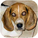 Basset Hound/Basset Hound Mix Dog for adoption in Phoenix, Arizona - Lance