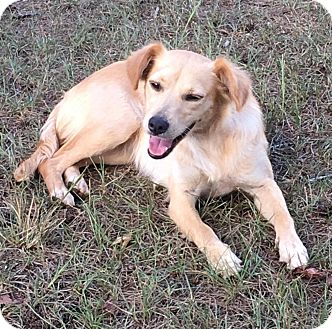 Golden Retriever/Spitz (Unknown Type, Small) Mix Dog for adoption in Media, Pennsylvania - LITTLE GOLDIE