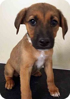 Labrador Retriever Mix Puppy for adoption in Hinsdale, Illinois - ADOPTED!!!   Natalie