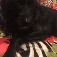Adopt A Pet :: ZZ-Max *courtesy post - Rancho Santa Margarita, CA