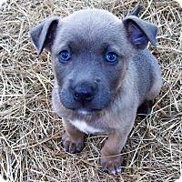 Adopt A Pet :: Capone - Waller, TX