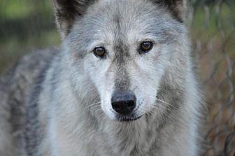 Husky/Shepherd (Unknown Type) Mix Dog for adoption in Orlando, Florida - Wolfdog - Raisin