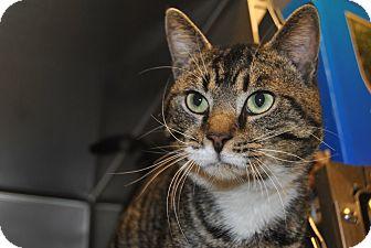 Domestic Shorthair Cat for adoption in Windsor, Virginia - Leonard