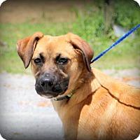 Adopt A Pet :: Abbey Rose - Glastonbury, CT