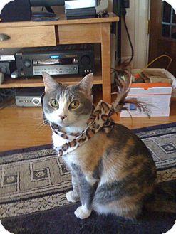 Calico Cat for adoption in Seattle, Washington - Dehlia