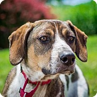 Hound (Unknown Type) Mix Dog for adoption in Barrington, Rhode Island - Walter Reed