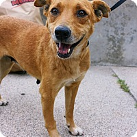Adopt A Pet :: Gretchen - Minneapolis, MN
