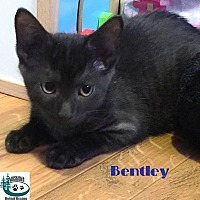 Adopt A Pet :: Bentley - Little Cutie! - Huntsville, ON