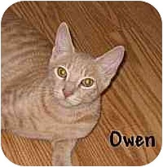 Domestic Shorthair Cat for adoption in AUSTIN, Texas - Owen