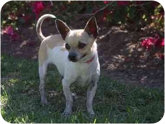 Chihuahua Mix Dog for adoption in Harbor City, California - Paco