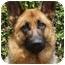 Photo 2 - German Shepherd Dog Mix Dog for adoption in Los Angeles, California - Tiffany von Tauben