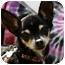 Photo 1 - Chihuahua Mix Dog for adoption in petaluma, California - Holly