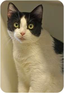 Domestic Shorthair Cat for adoption in Houston, Texas - Domino