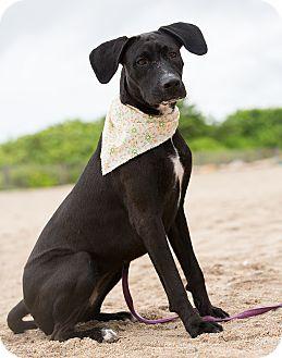 Labrador Retriever Mix Dog for adoption in Homestead, Florida - Annie