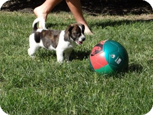 Boston Terrier/Beagle Mix Puppy for adoption in Marlton, New Jersey - Baby Lenny