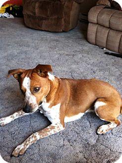 Rat Terrier/Boston Terrier Mix Dog for adoption in Alliance, Nebraska - Rooskie