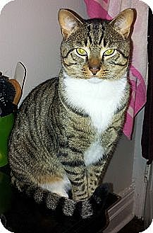 American Shorthair Cat for adoption in New York, New York - Billy