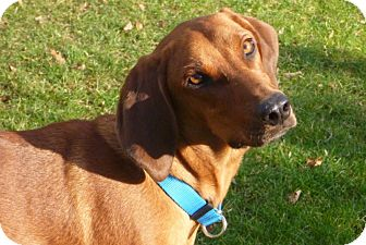 Redbone Coonhound/Labrador Retriever Mix Dog for adoption in Conway, New Hampshire - Beau