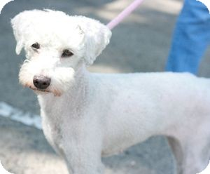 Poodle (Miniature) Dog for adoption in Canoga Park, California - Princess