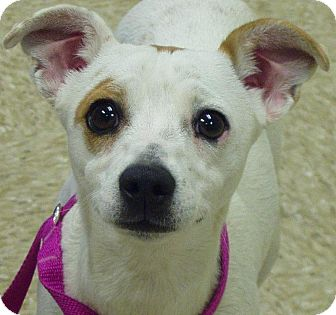 Italian Greyhound/Parson Russell Terrier Mix Dog for adoption in Hastings, Nebraska - Val - Puppy!