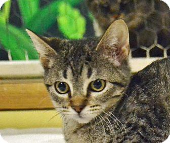 Domestic Shorthair Kitten for adoption in Searcy, Arkansas - Afton