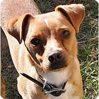 Adopt A Pet :: Hank in Houston - Houston, TX