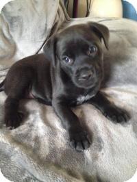 Labrador Retriever Mix Puppy for adoption in Marlton, New Jersey - Baby Peyton