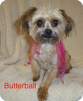 Yorkie, Yorkshire Terrier Mix Dog for adoption in Slidell, Louisiana - Butterball