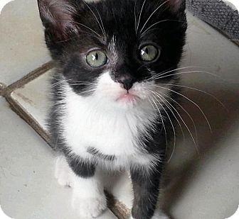 American Shorthair Kitten for adoption in Palatine, Illinois - Olivia