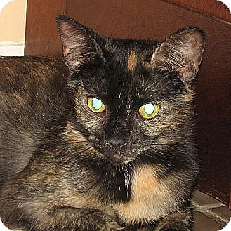 Domestic Shorthair Cat for adoption in Hamilton, New Jersey - ARIEL - 2014