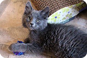 Domestic Shorthair Kitten for adoption in HILLSBORO, Oregon - Rio