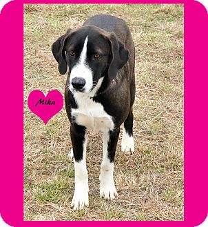 Labrador Retriever/Border Collie Mix Dog for adoption in Hillsboro, Texas - Mika