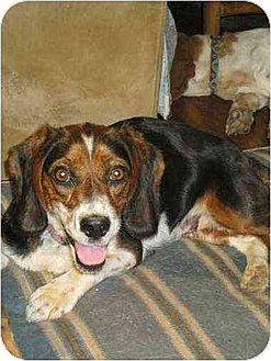 Beagle/Cocker Spaniel Mix Dog for adoption in South Burlington, Vermont - Suzie